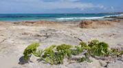 Vegetación en la arena playa de ses Canyes Formentera